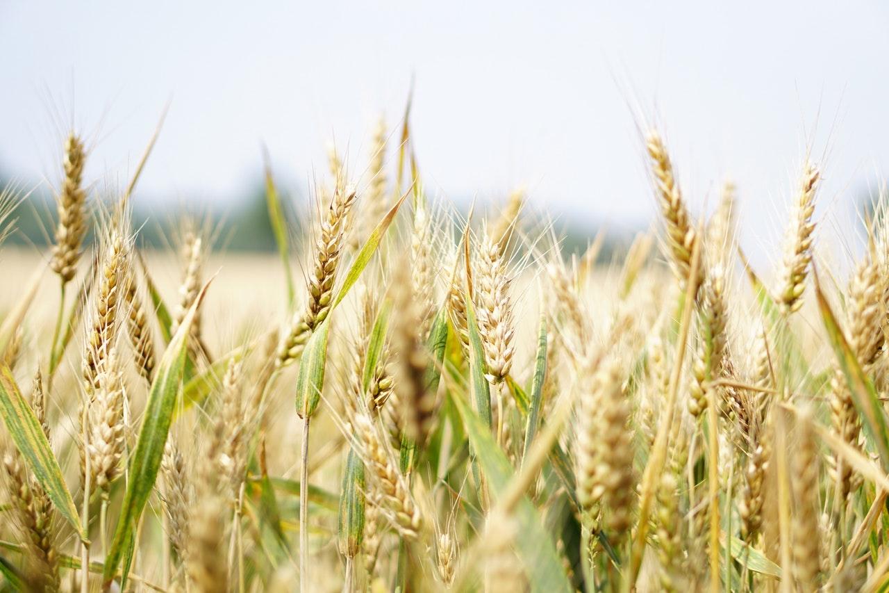 Wheat grain growing in a field.