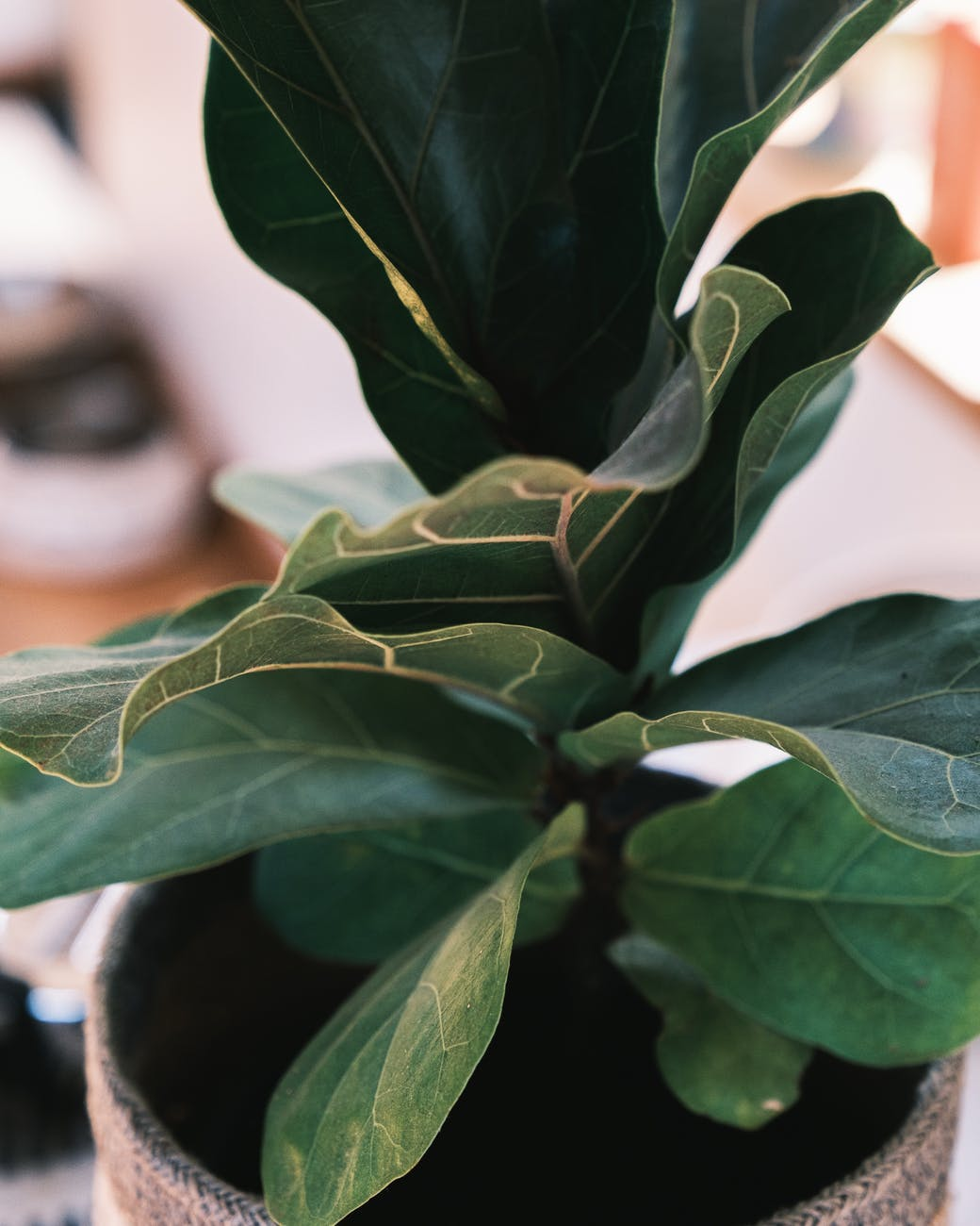 ficus lyrata growing in pot at home